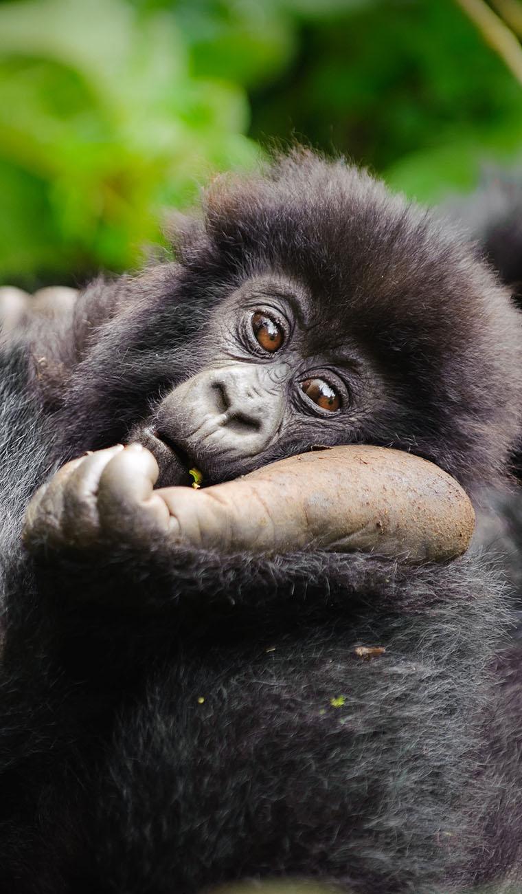 Gorilla Safari Tours Africa