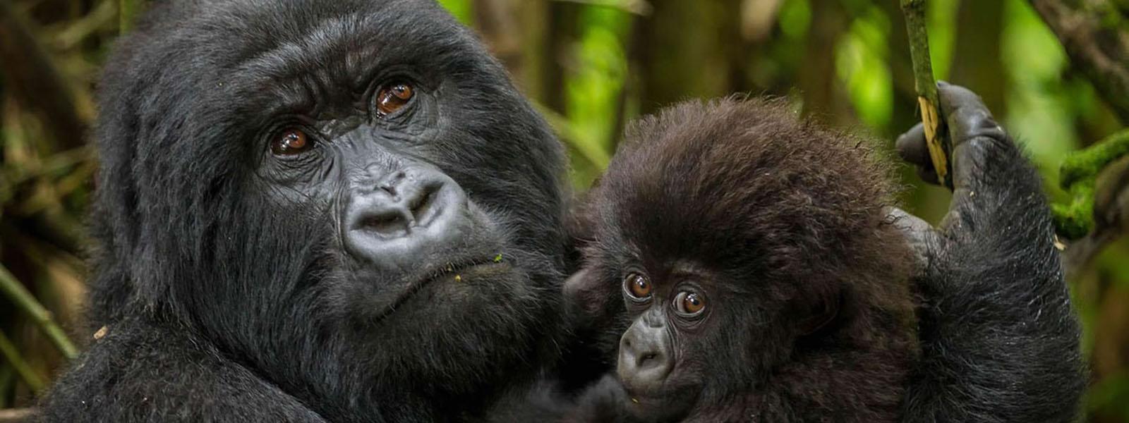 Uganda Rwanda Gorilla Tours