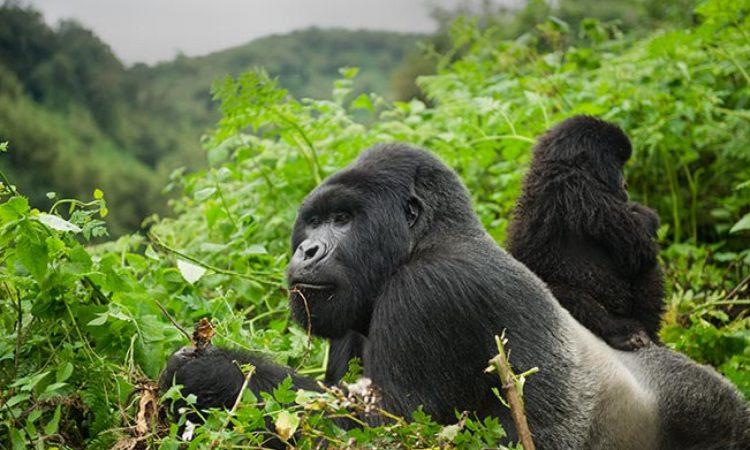 2 Days Gorilla Safari Rwanda