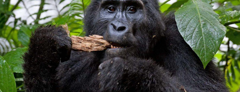 3 Days Congo Gorilla Safari to Virunga NP