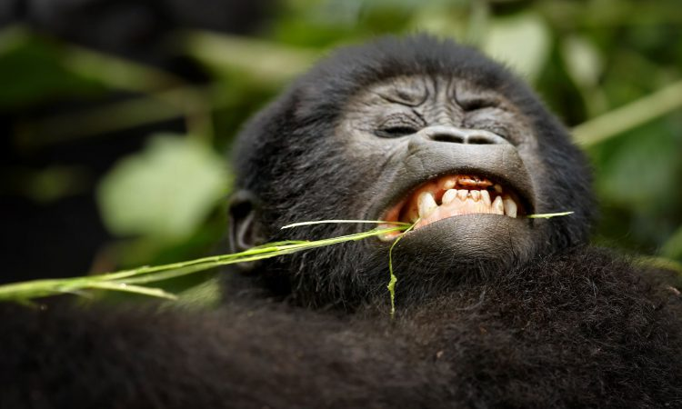 3 Days Mgahinga Gorilla Safari Uganda