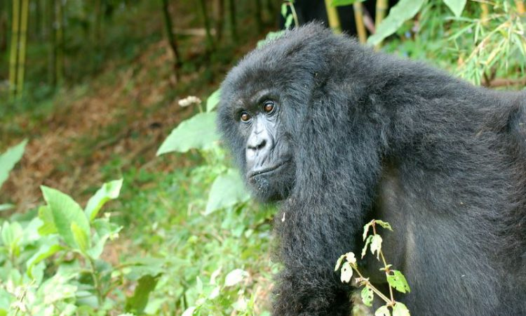 4 Days Double Gorilla Trekking Bwindi