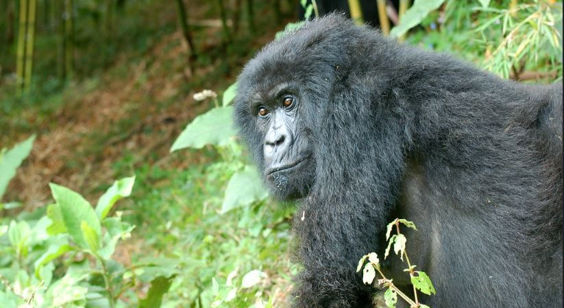 4 Days Double Gorilla Trekking Bwindi
