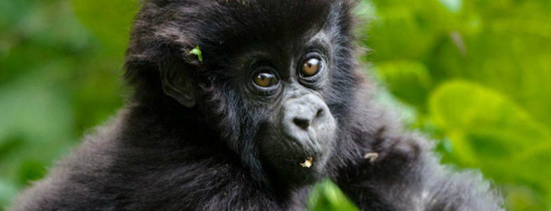 4 Days Double Gorilla Trekking Bwindi & Mgahinga