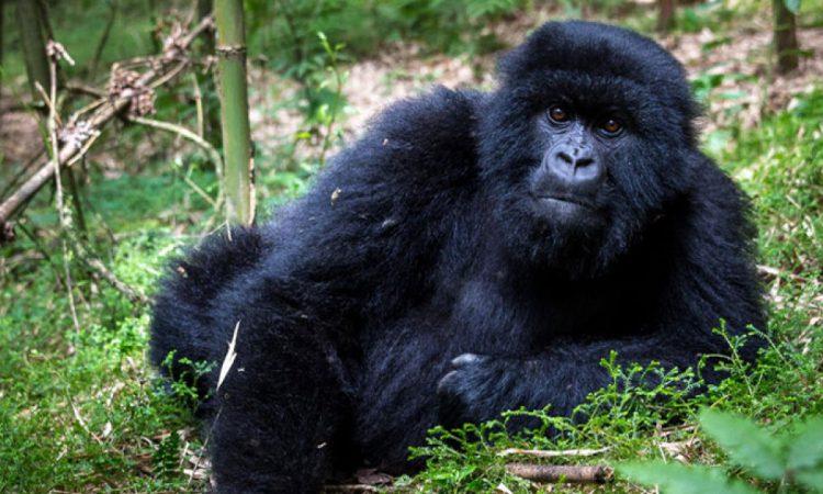 5 Days Uganda Rwanda Gorilla Safari