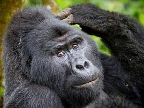 Africa Gorilla Safari