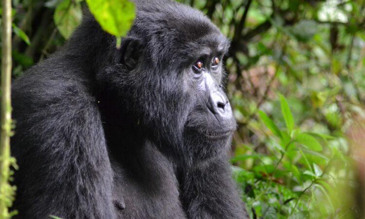Do-gorillas-eat-humans
