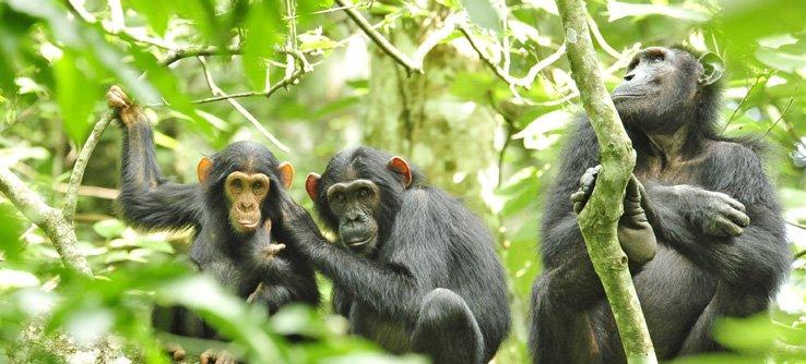 Where do chimpanzees live