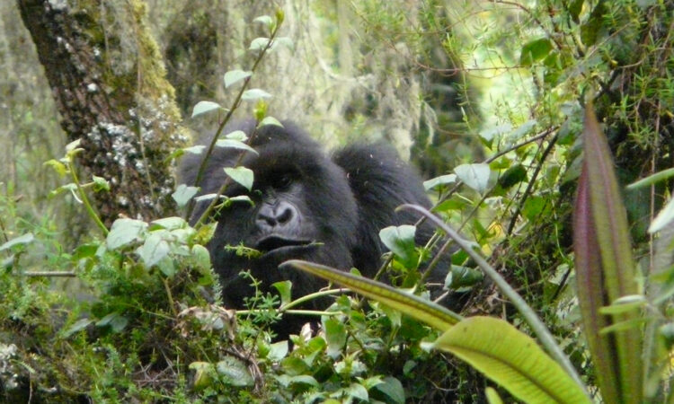 mountain-gorilla-behavior